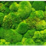 Озеленение мхом, стабилизированные растения 08 150x150