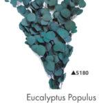 Озеленение мхом, стабилизированные растения 971019109 w640 h2048 evkalipt populus 150x150