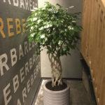 Растения в горшках для ресторана, базовое озеленение